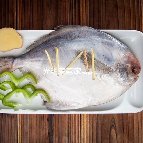 东海大鲳鱼