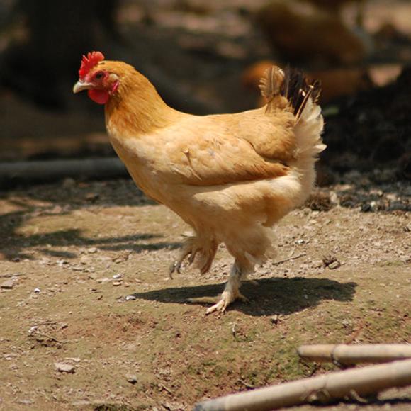 2年龄皖南老母鸡